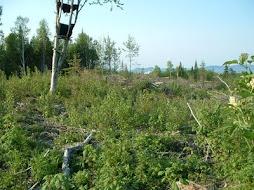 Mourning Warbler habitat