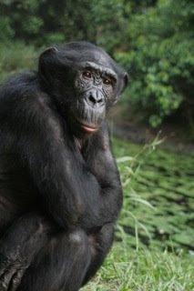 bonobo-pornography-uniformed-girl-sex
