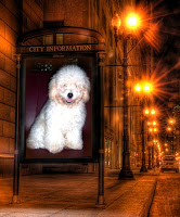 Chelsea - Toy Poodle