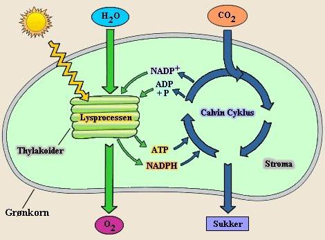 Forskjellen på aerob og anaerob celleånding