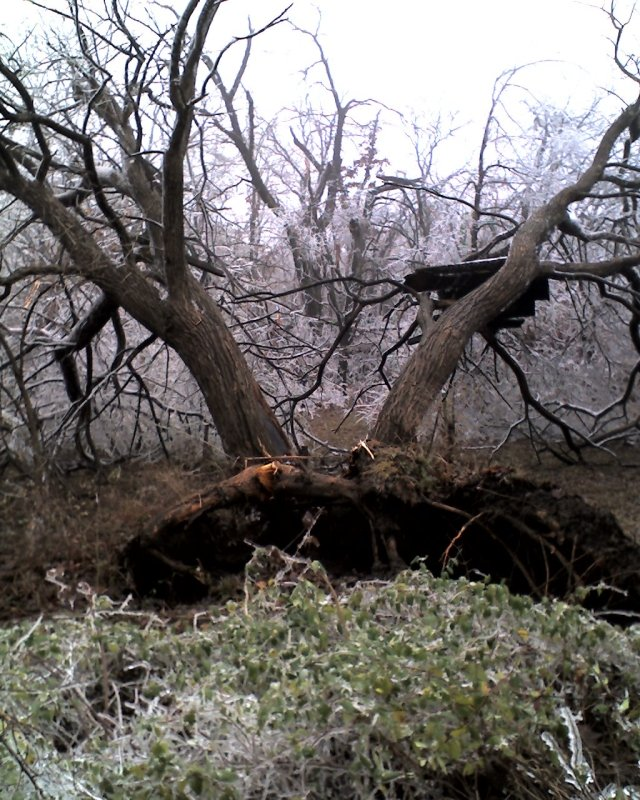 [uprooted+tree]