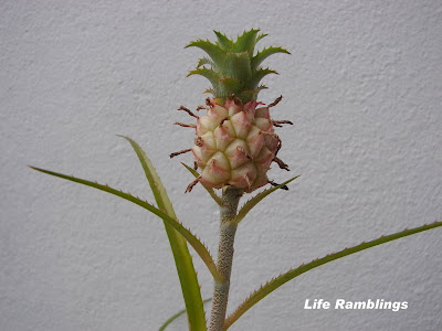how to grow a pineapple from a stem
