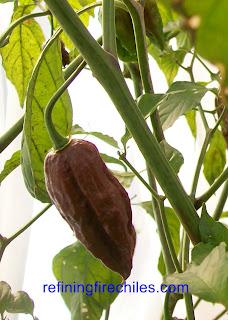 Trinidad Scorpion, chocolatew bhut jolokia chile