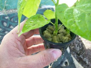 bhut jolokia, www.superhotchiles.com