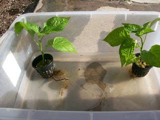 Trinidad Scorpion, bhut jolokia plants