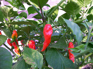 Bhut Jolokia - www.superhotchiles.com, Ghost Chile