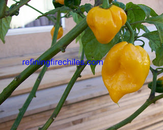Trinidad Yellow 7 Pot-Douglah 7 Pot-Morouga Scorpion