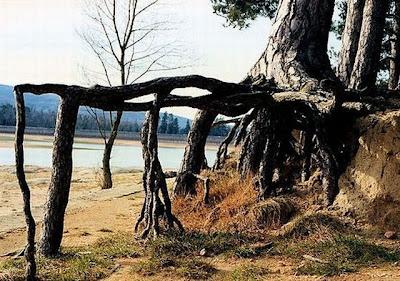 strange and funny trees 47 Pohon Aneh Yang Tumbuh Di Tempat Aneh