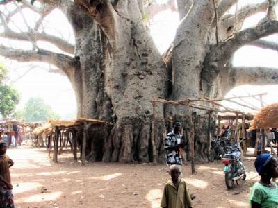 strange and funny trees 19 Pohon Aneh Yang Tumbuh Di Tempat Aneh