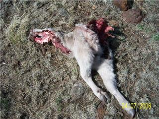 Confirmed Wolf Kill in Catron County