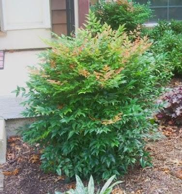 bamboo leaf japanese maple bonsai. stock Heavenly+amboo+leaf
