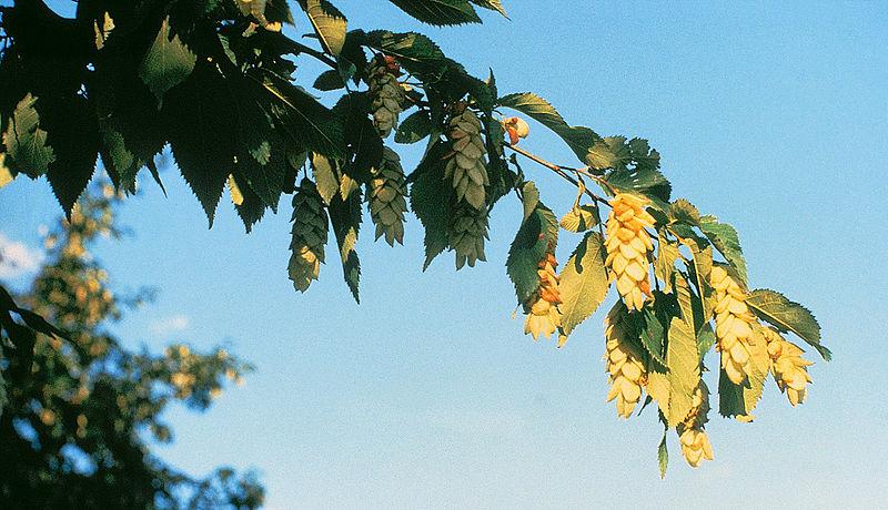 http://1.bp.blogspot.com/_n8taDnf63bU/TBBx_N4WHcI/AAAAAAAALSc/5hwd_hF_y7I/s1600/Ostrya_virginiana.jpg