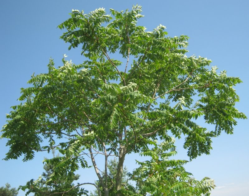 Economically Profitable Tree Species in addition Plant Worldacacia in addition Pajasen in addition 152060627050 further Indian 20Tree 20of 20Heaven. on ailanthus excelsa 1 2