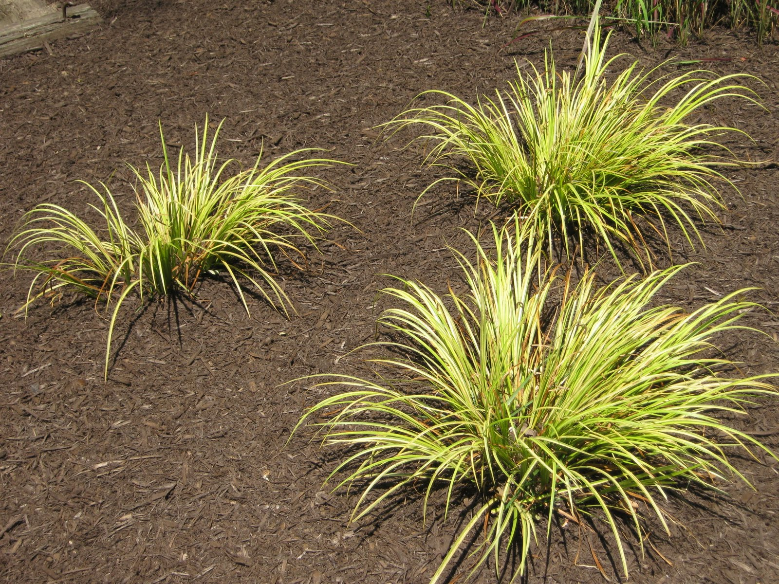 Future plants by randy stewart acorus sweet flag for Short grasses for landscaping