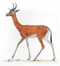 antilope de Clark Ammodorcas clarkei