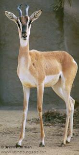 gacela de Soemering Gazella soemmeringii