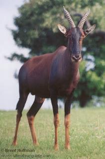 tsessebe Damaliscus lunatus