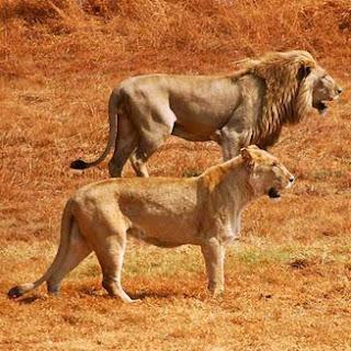 leon Panthera leo felinos de Africa