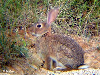 lagomorpha conejo de monte Oryctolagus cuniculus