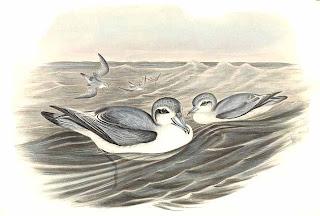 petrel ballena de pico grueso Pachyptila vittata