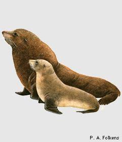oso marino de Nueva Zelanda Arctocephalus forsteri new zealand mammals