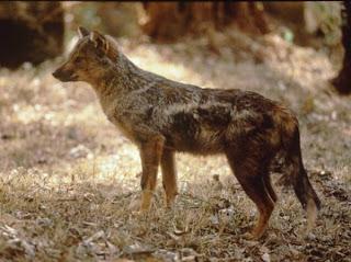 canidae Chacal listado Canis adustus