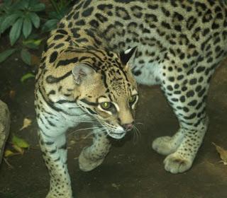 ocelote Leopardus pardalis felinos de america