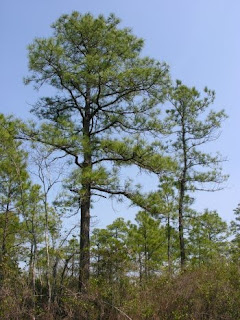 Pino del pantano Pinus serotina