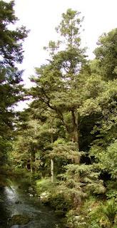 Totara Podocarpus totara