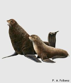 Oso marino del norte Callorhinus ursinus