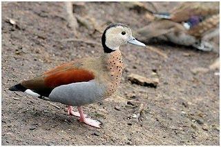 pato de collar Calloneta leucophrys aves argentinas y sus relaciones con con otras especies