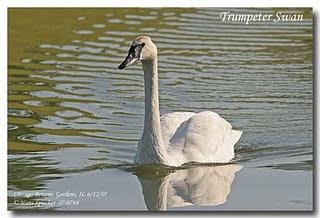 predadores del Cisne trompetero Cygnus buccinator