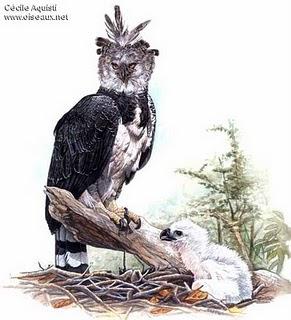 argentinian birds Harpia Harpia harpyja