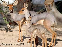 antilope beira Dorcatragus megalotis