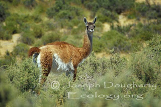 guanaco Lama guanicoe