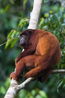 mono aullador rojo Alouatta seniculus