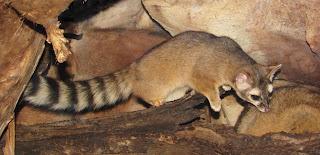 gato de cola anillada Bassariscus astutus