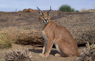 felidae caracal Caracal caracal