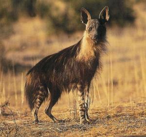 hiena marron Hyaena brunnea