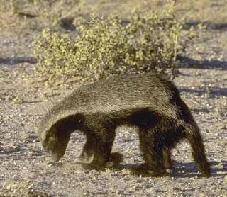 ratel Mellivora capensis african mammals