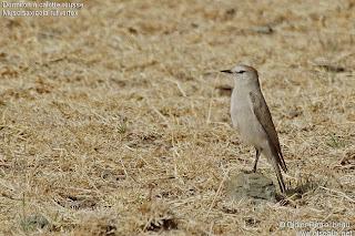 dormilona gris Muscicaxicola rufivertex aves de Argentina passeiformes