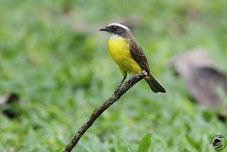 benteveo sociabel Myiozetetes similis aves de Argentina