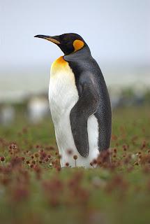 pinguino rey Aptenodytes patagonicus aves de la Antartida