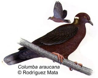 paloma araucana Columba araucana familia Columbidae en Argentina