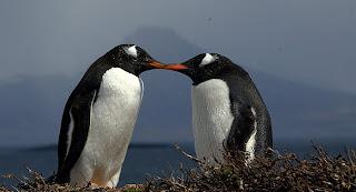spheniscidae pinguino de vincha Pygoscelis papua