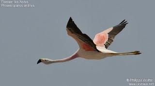 parina grande Phoenicoparrus andinus aves de Argentina
