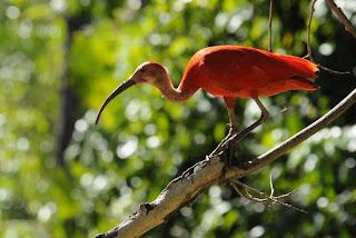 ibis rojo Eudocimus ruber Ciconiformes