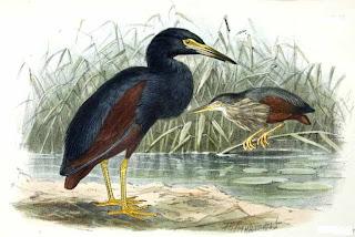 garcilla vientre rojo Ardeola rufiventris african birds