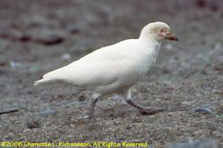 paloma antartica Chionis alba birds of Argentina