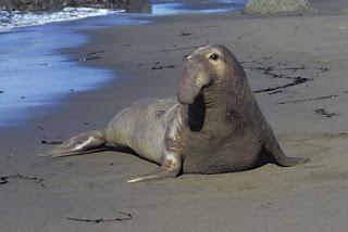 elefante marino del norte Mirounga angustirostris marine mammals